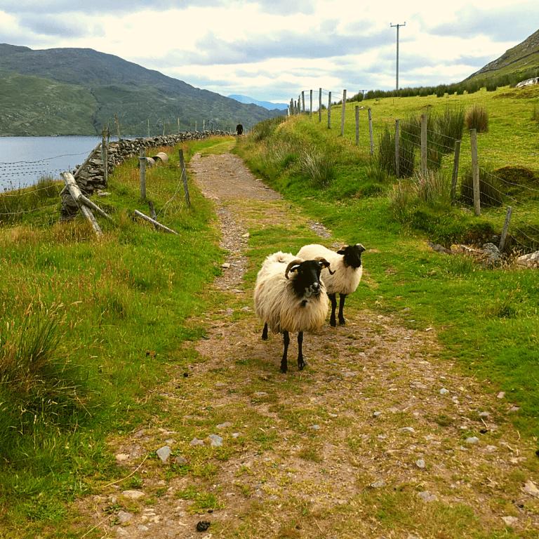 Meet Ireland's friendly sheep